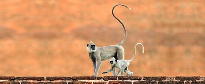 Affen mit langem Schwanz